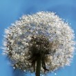 Dandelion — Stock Photo #25236995