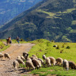 Stock Photo: Sheeps in Bolivia