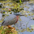 Green heron — Stock Photo #25335801