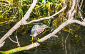 Green heron — Foto de Stock