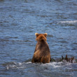Bear on Alaska — Stock Photo #26300343