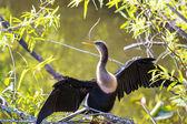 Pájaro en everglades — Foto de Stock