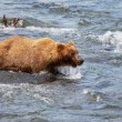 Foto de Stock  : Bear on Alaska