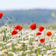 Poppy — Stock Photo #26452585