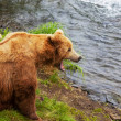 Bear on Alaska — Stockfoto #26863983