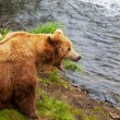 Bear on Alaska — Stock Photo #26863983