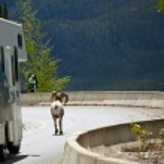 Canadian goat — Stock Photo #26911989