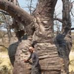 Baobab — Stock Photo #26986609