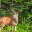 Wild deer — Stock Photo #26987157