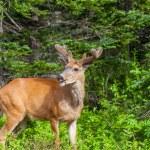 Wild deer — Stock Photo #26987157