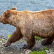 Bear on Alaska — Stock Photo #26987657