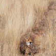 Cheetah — Stockfoto #27188239