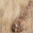 cheetah — Stock Photo #27188239