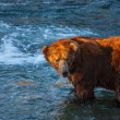 Foto Stock: Bear on Alaska