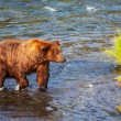 Bear on Alaska — Stock Photo #30731899