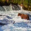 Bear on Alaska — Stock Photo #30731929