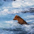 Bear on Alaska — Stock Photo #30731995
