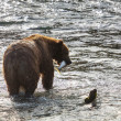 Bear on Alaska — Foto Stock #30947381