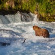 Bear on Alaska — Stock Photo #31038321
