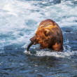Bear on Alaska — Stock Photo #31038361
