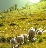 在挪威的羊 — 图库照片