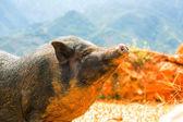 Cochon vietnamien — Photo