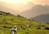 Ovejas en noruega — Foto de Stock