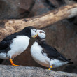 Puffin — Stock Photo #34050995