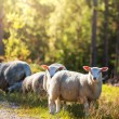 Sheep in Norway — Stock Photo #34300965