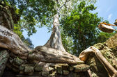 Tree in Angkor — Stock Photo