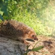 Hedgehog — Stock Photo #35872383