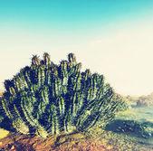Cactus in desert — Stock Photo