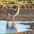 Llama in Bolivia — Stock Photo
