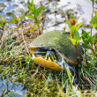 Turtle — Stock Photo #36073795