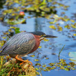 Green heron — Stockfoto