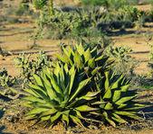 Cactus en méxico — Foto de Stock