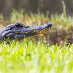 Alligator — Stock Photo #39884647