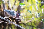Green heron — Stock Photo