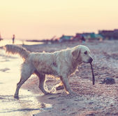 Retriever — Stock Photo