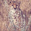 Cheetah — Stock Photo #40485475