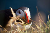 Close up of puffin — Stock Photo
