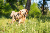 Retriever dog — Stock Photo