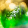 Stock Photo: Lilly of the valley