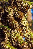 Monarch Butterfly colony — Stock Photo