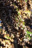 Monarch Butterfly colony — Stock fotografie