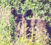 Alce nella foresta — Foto Stock