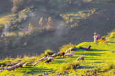 Sheeps in Bolivia — Stock Photo