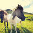 Horse in Iceland — Stock Photo #44436977
