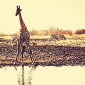 Giraffe in habitat — Stock Photo