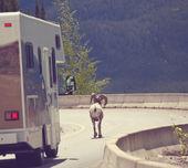 Kanadyjski koza — Zdjęcie stockowe
